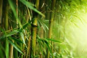 Японцы построят электростанцию на бамбуке!